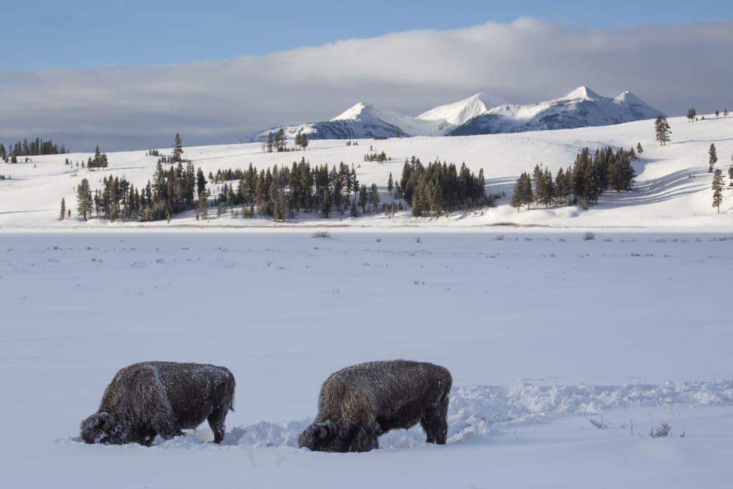 Exploring Yellowstone National Park In Winter Kalahari Biltong